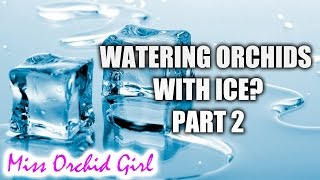 Watering Phalaenopsis orchids with ice cubes - Settling the matter Part 2