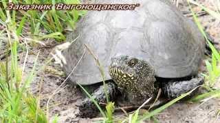 Болотная черепаха (Emys orbicularis) wildlife