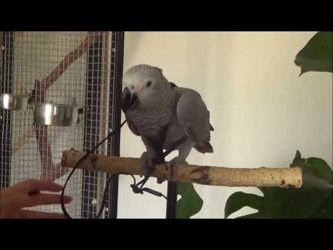 Harness training young African Grey