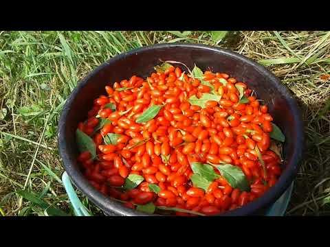 Годжи сбор ягод в Украине. Как собирают ягоди годжи.