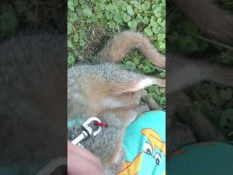 I Love My Grey Fox