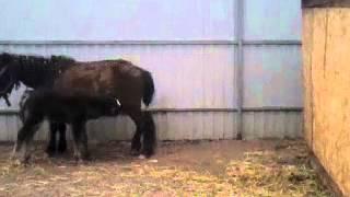 Лошади трахаются часть 1