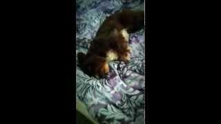 Miniature Schnauzer Barking I Love Youuu!