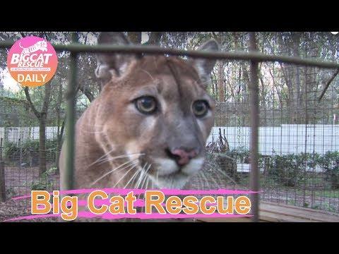 Cougar talking to cameraman...