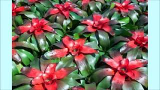 видео Акантостахис - виды, уход и размножение растений: фото
