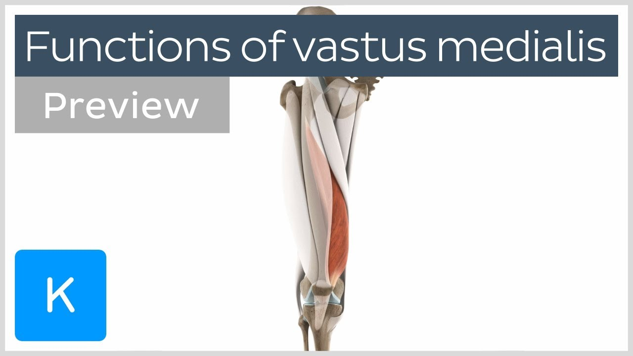 Functions of the vastus medialis muscle (preview) - Human 3D Anatomy ...