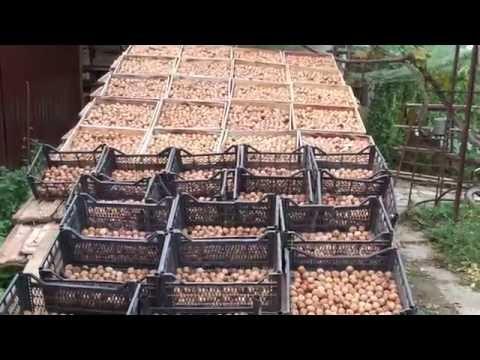 Грецкий орех - урожай одного дерева в 2016г.