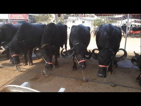 Biggest Buffalo Fest in Hyderabad