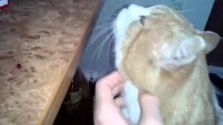 Необычное мурчание кота