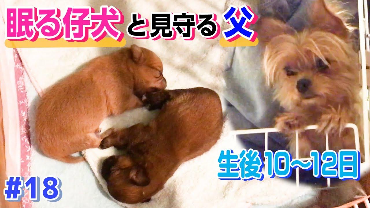 【生後10日目〜】シンクロして眠る双子の仔犬と見守る父犬が可愛すぎた【ミックス犬】