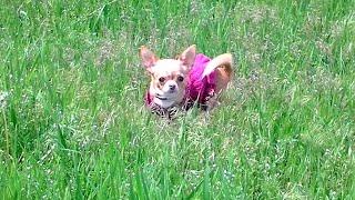 Чихуахуа мини на прогулке ❤ Mini Chihuahua for a walk