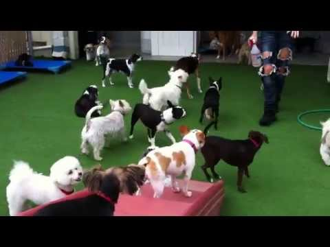 Small dogs playing in doggie daycare in Deerfield Beach Florida at Dogstown University