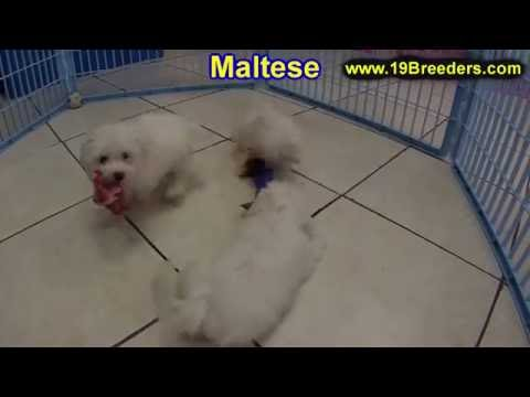 Maltese, Puppies For Sale, In Knoxville, County, Tennessee, TN, 19Breeders, Murfreesboro, Jackson