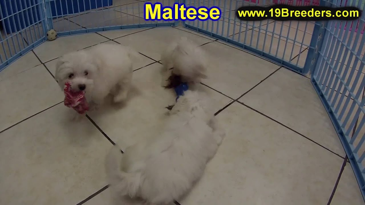 maltese puppy for sale in tn maltese puppies for sale in knoxville county tennessee 8369