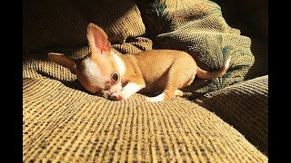 See to believe - tiniest apple head chihuahua puppy   Sweetie Pie Pets by Kelly Swift