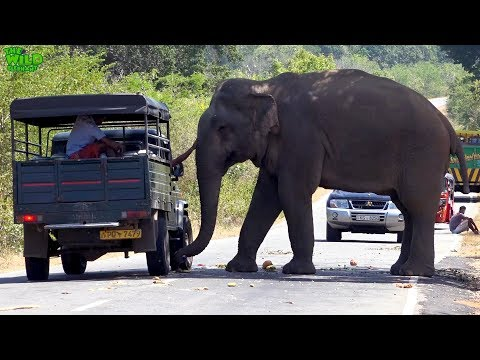 The most fed elephant in the world (part 2)