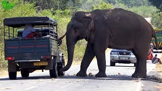 The most fed elephant in the world (part 2) thumbnail