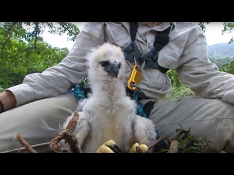 Inside a Harpy Eagle Nest - Ultimate Killers - BBC