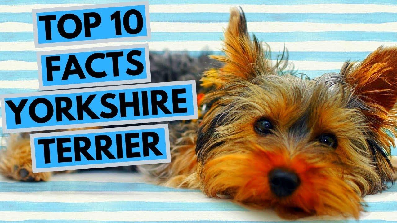 yorkshire terrier látvány)