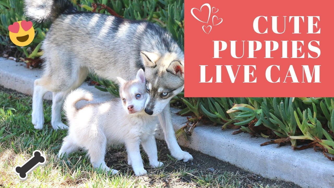 Live Puppy Cam- Adorable Alaskan Klee Kai-Miniature Husky Puppies