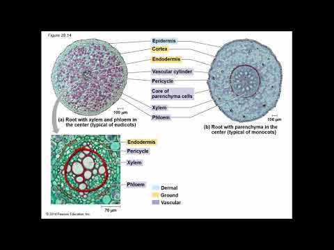 part 4, primary growth and cellular differentiation