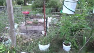 Planing next years garden to prevent Walnut wilt in the garden