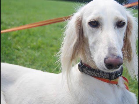 Saluki - (Persian Greyhound) / Raza de Perro