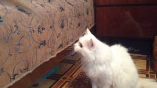Смешные кошки: ангора против линейки