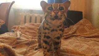 Азиатский леопардовый кот - хозяин в доме)) Bengal cat like a boss in this home)
