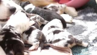 щенки австралийской овчарки