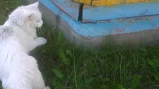 Лягушка мяукает как кошка
