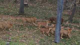 多摩動物公園でのライオン同士の争い 飼育員さんが車で割って入りますが...