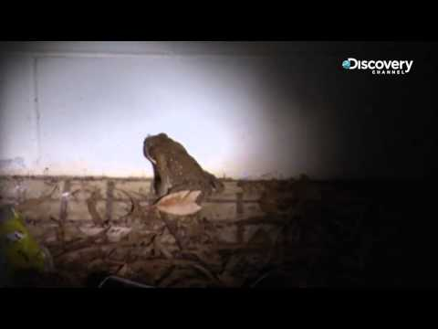 Dirty Jobs Down Under: Cane Toad Hunting