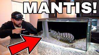 GIANT SPEARING MANTIS SHRIMP GETS NEW SALTWATER HOME AQUARIUM!