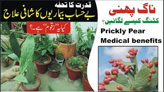 How to Grow Naag Phanni | Prickly Pear | Medical benefits