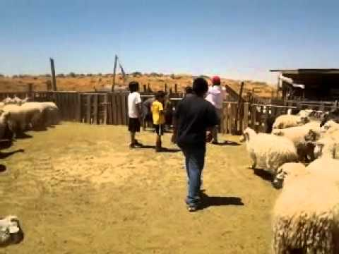 Williams Family Adventure: Sheep in Southland & The World's ...