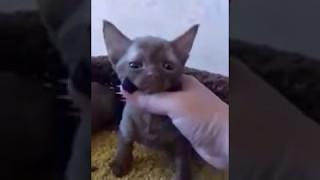 Котята девон - рекса