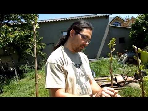 Formacion de Planta de Castaños recien transplantados. Parte I.