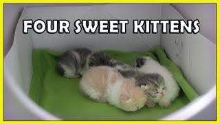 Four Sweet Rolls 2 week old Exotic Shorthair Kittens [ CatVines ]