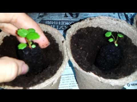 Как посадить клубнику семенами пикировка