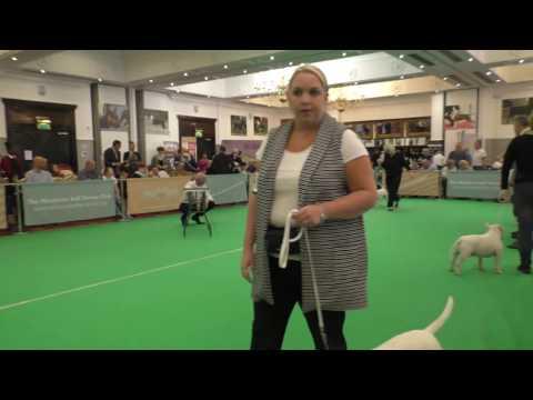 Miniature Bull Terrier Club England International Weekend 2016 Limit Dog