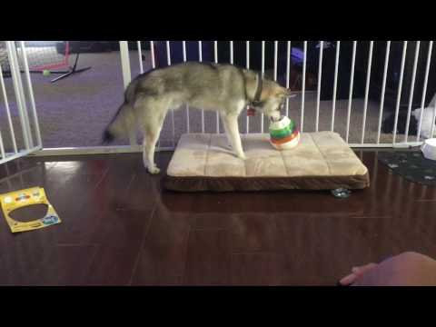 Aurelius the Alaskan Klee Kai | How to use a treat tower for the first time