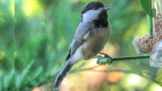 Black Capped Chickadee Call and Song