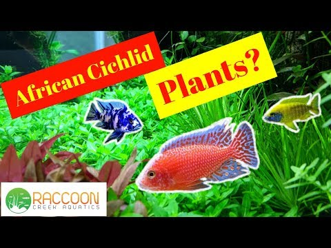 Three Plant Species For An African Cichlid Tank | Planted African Cichlid Tank