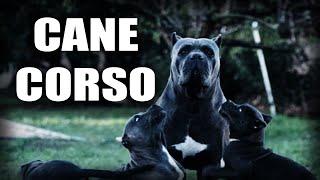 CANE CORSO  BREED HISTORY  BREED STANDARD  ITALIAN MASTIFF