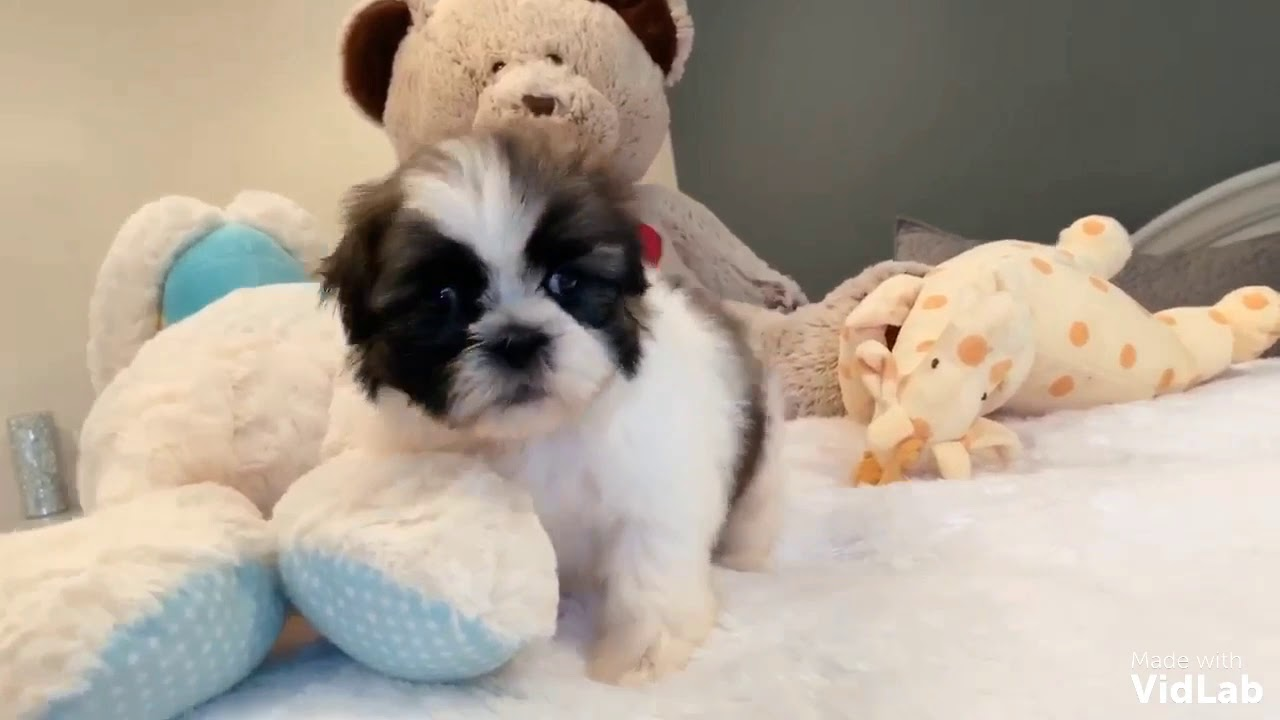 Shih Tzu Puppies Cost Without Papers