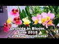 Orchids in Bloom June 2019! Plus Meet Two New Oncidiums!