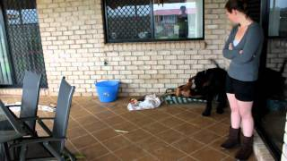 Indy The Dobermann Vs Ava The Giant Schnauzer