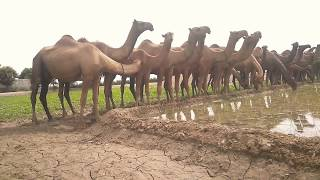 Camels Farming In Pakistan