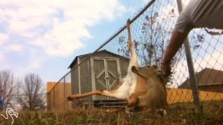 Deer Was Stuck In The Most Painful Way Until This Guy Came Along